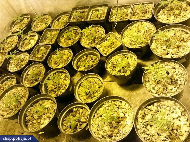 Plantatorzy nielegalnych konopi w rękach CBŚP