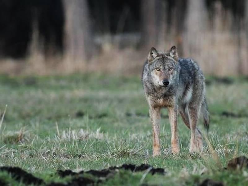 Inwentaryzacja wilków i rysi