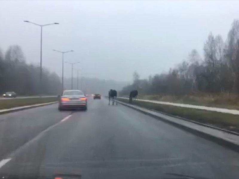 Łosiostrada w Ełku